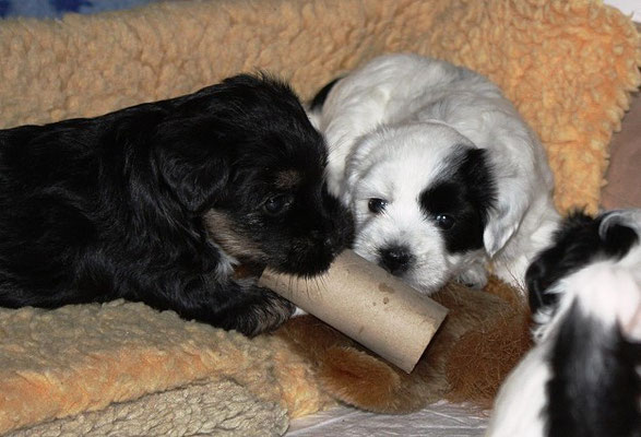 An-Dha-Na-I-Wurf - 5 Wochen alt - Indra und Indu