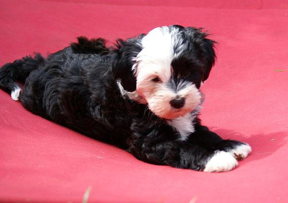 Klein-Gesar - 8 Wochen alt