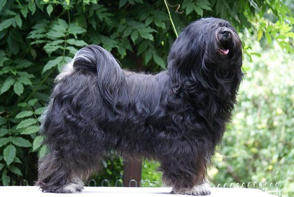 Yeshi - Tibet-Terrier-Deckrüde - 11.8.16
