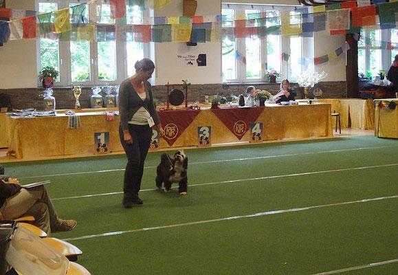 KTR-Spezialausstellung Werl 2015 - Lisha in der Jüngstenklasse Hündinnen