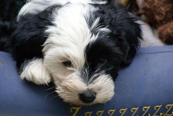 Klein-Gesar - 10 Wochen alt