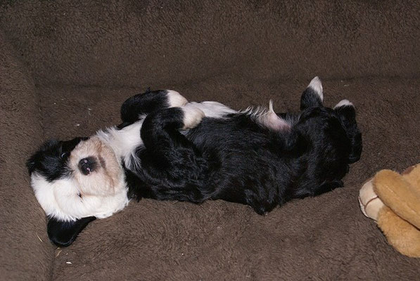 Klein-Gesar - 6 Wochen alt