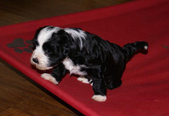 G-Wurf - Rüde 2 - Mihu - 5 Wochen alt