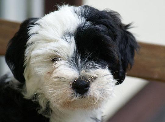 Klein-Gesar - 11 Wochen alt