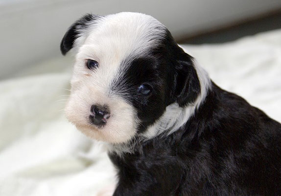 G-Wurf - Rüde 1 - 4 Wochen alt