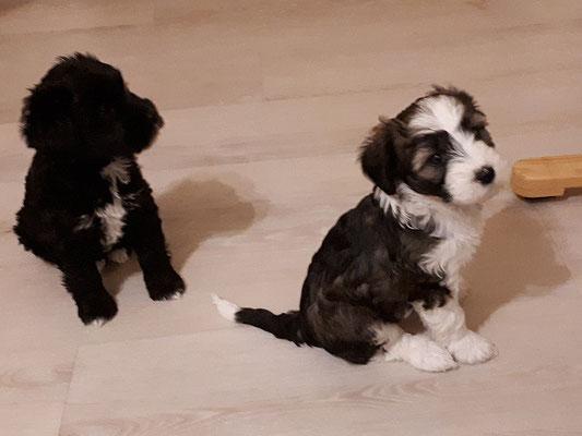 H-Wurf - 7 Wochen alt - Hira und Han-na