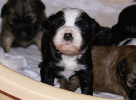 G-Wurf - Rüde 2 - knapp 3 Wochen alt
