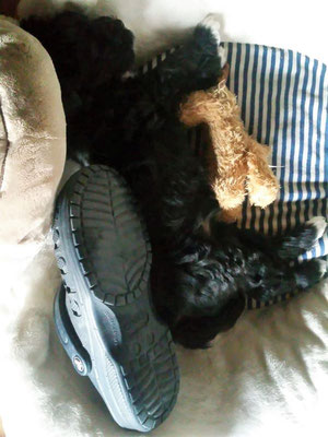 Mia: was braucht man mehr für ein gemütliches Schläfchen als ein Kuscheltier und einen Schuh der Züchterin?!