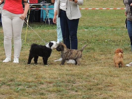Gesar in Eiken in der Schweiz - 20.8.2016 -  Puppy Klasse