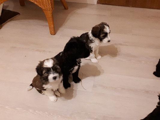 H-Wurf - 7 Wochen alt - Linchen, Hira und Han-na