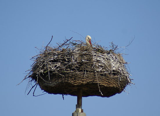 Storch in Pampow