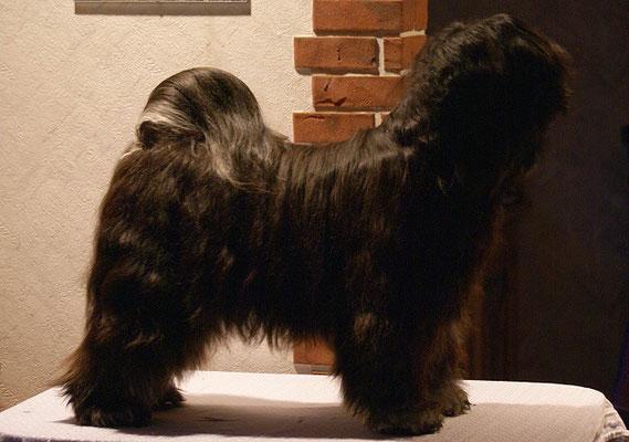 Tibet-Terrier Yeshi nach Baden, Fönen, Kämmen - 1 1/2 Jahre alt