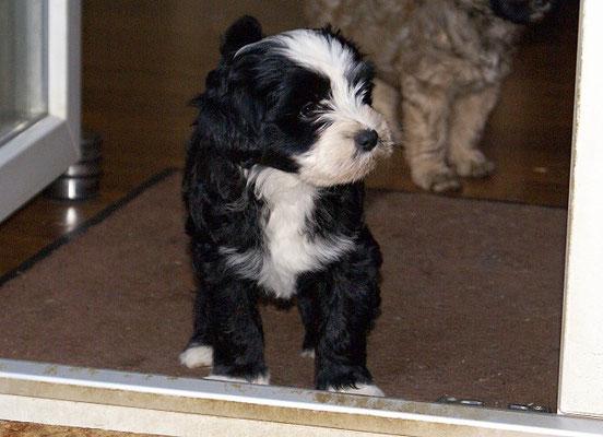 Mihu - 8 Wochen alt