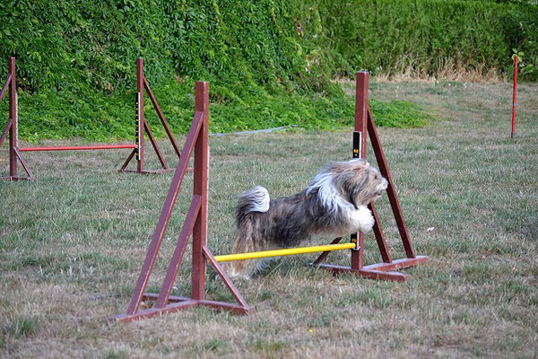 Milka beim Agility-Training im August 2015