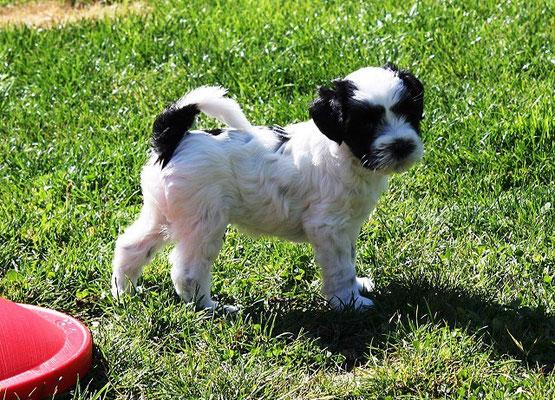 An-Dha-Na-I-Wurf - 6 Wochen alt - Ishu, der kleinste im Wurf