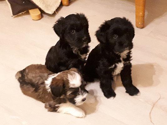H-Wurf - 7 Wochen alt - Linchen, Sa-mia und Hira