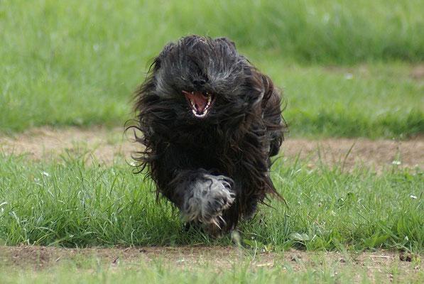 Tibet-Terrier Rüde Yeshi im Mai 2015