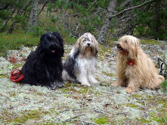 Dänemark 2015 - Yeshi, Milka und Bya-ra im Dünenwald