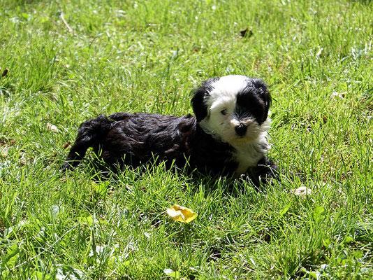 Klein-Gesar - 7 Wochen alt