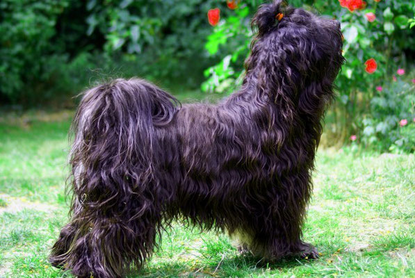 Tibet-Terrier Rüde Yeshi im Juni 2015