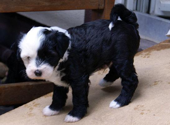 G-Wurf - Rüde 1 - Gesar - 6 Wochen alt