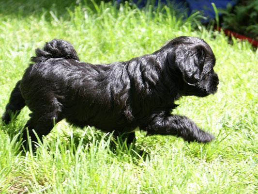 G-Wurf- Hündin 3 - Ga-la - 6 Wochen alt