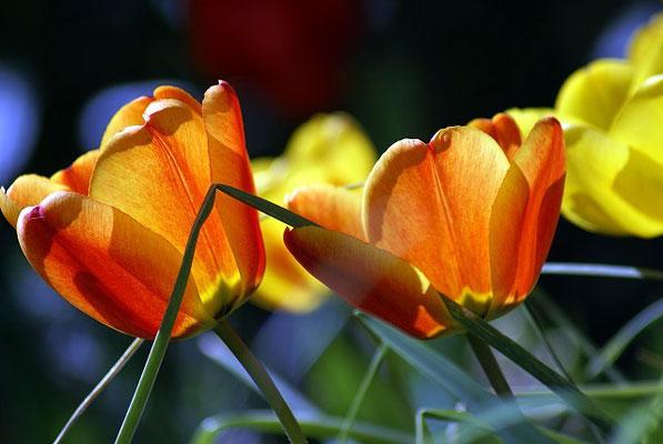 Tulpen in unserem Garten