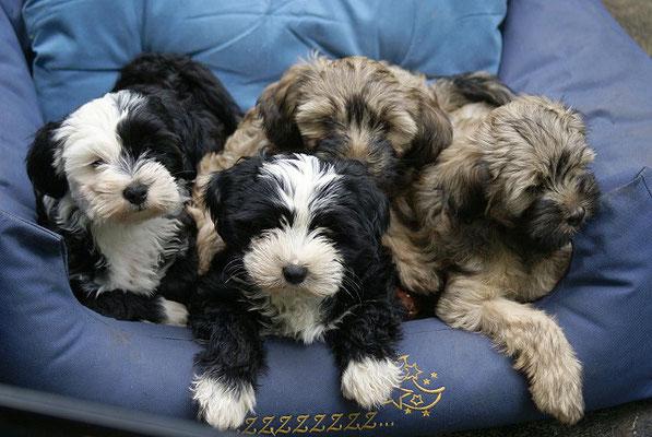 G-Wurf - Gesar, Mihu, Genya und Gemma - 10 Wochen alt