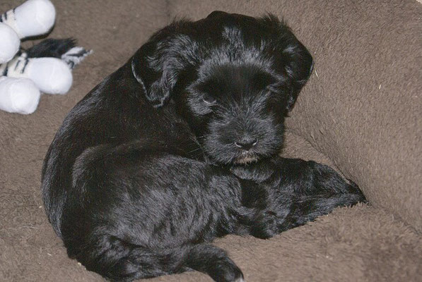 G-Wurf - Hündin 3 - Ga-la - fast 6 Wochen alt