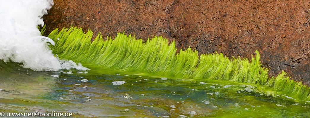 Algen - Ostsee am Strand von Sellin auf Rügen