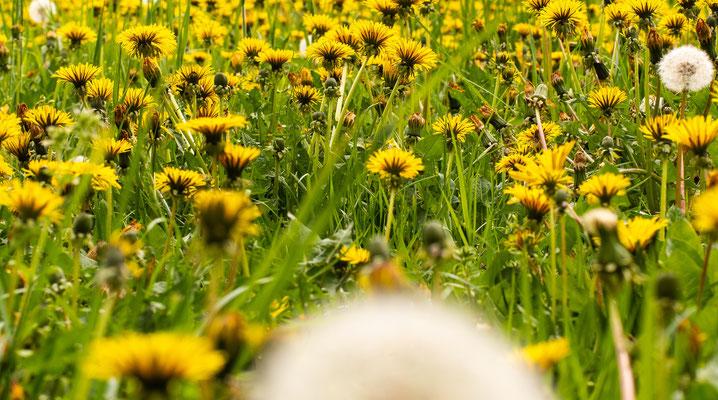 Löwenzahnwiese, So ähnlich müsste die Sicht einer anfliegenden Biene sein.