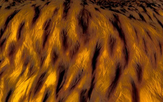 Yellow soft - das Federkleid des Habichtskauz mal anders