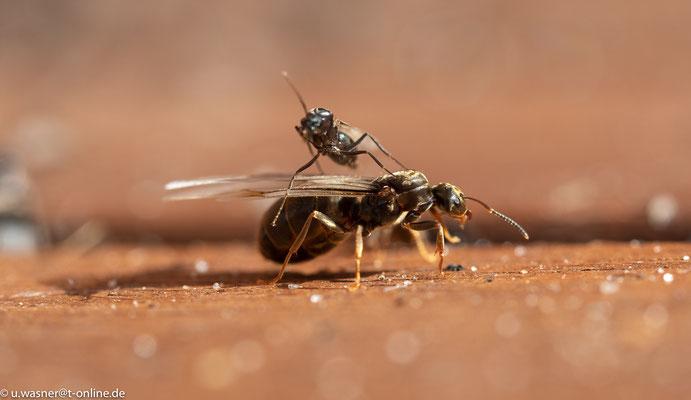 neue Ameisenkönigin - Vorbereitung zum Flug