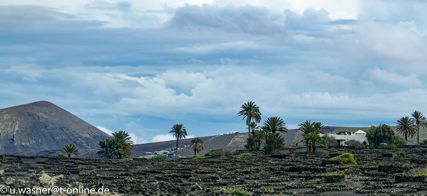 Lanzarote Palmen