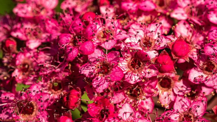 Blütenteppich in rot, Nahaufnahme - Strauchgewächs
