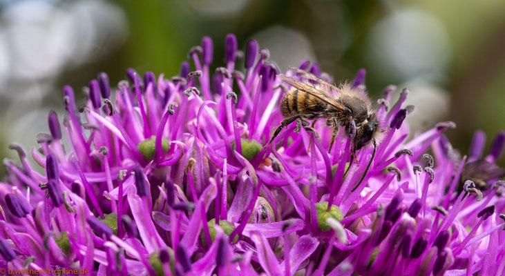 Biene in Zierlauch