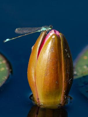 Kleine Pechlibelle an Knospe der Teichrose