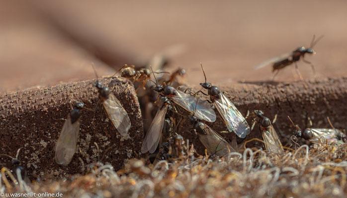 Ameisen - Vorbereitung zum Flug
