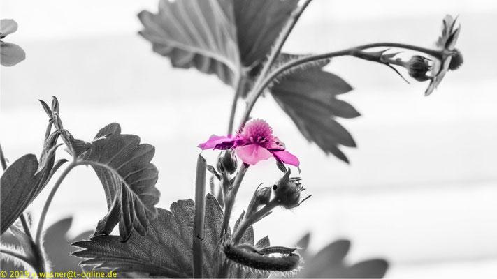 Erdbeerpflanze in s/w gewandelt und farblich nachbearbeitet