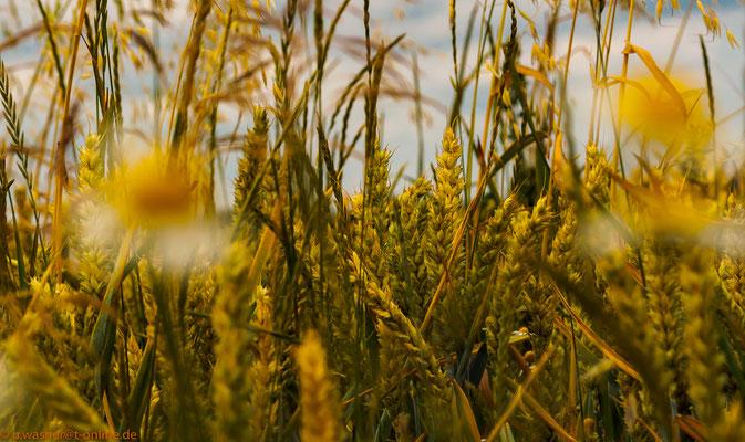 Getreide am Wegesrand - ein wildes Durcheinander
