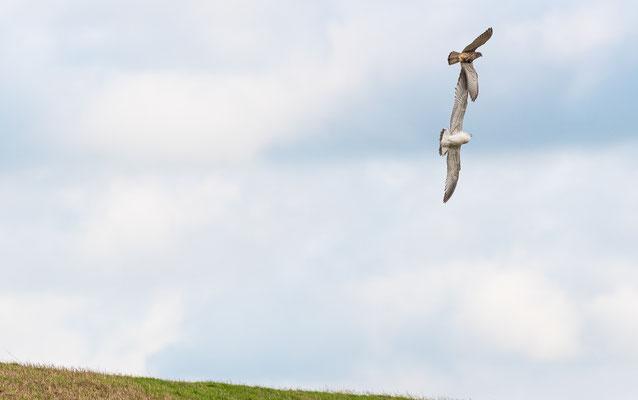 Möwe und Falke berühren sich mit den Flügeln