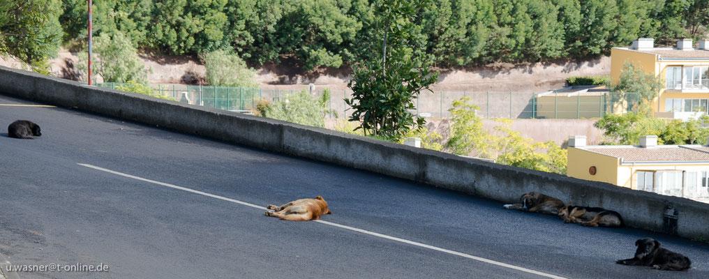 Hunde bei Cabo Girao, Madeira