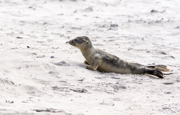 Robbe allein am Strand