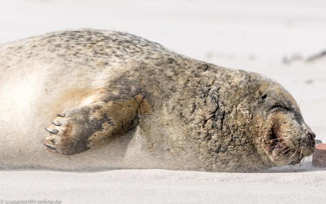 Robbe im Sandsturm