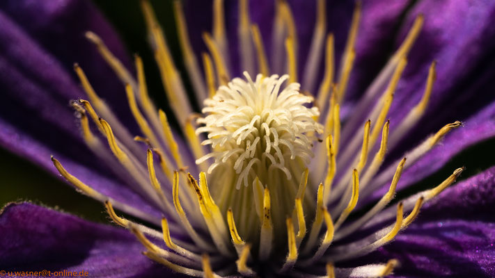 Clematisblüte lila - macro