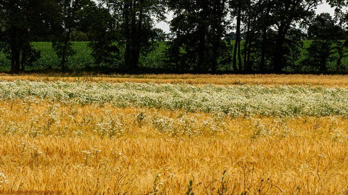 Kamilleblüten im Getreidefeld
