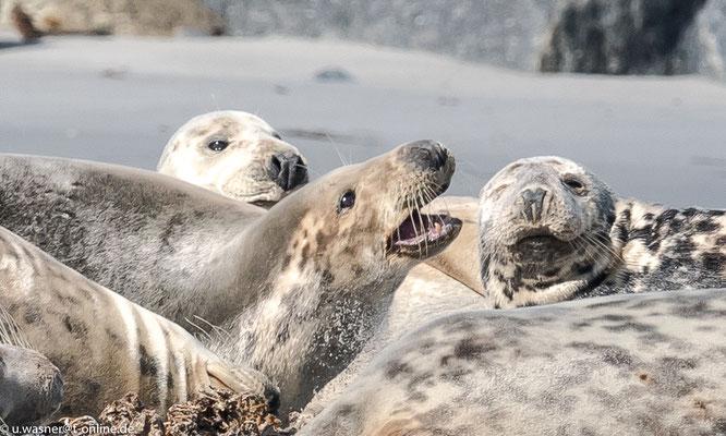 Robben unter sich