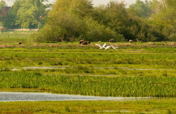 Schwäne in den Feuchtwiesen bei Bremen