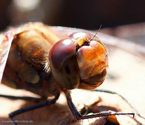 Kopf der Großen Heidelibelle
