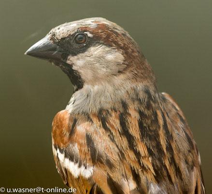 Haussperling, ein weiteres Portrait, zweifellos einer meiner Lieblingsvögel